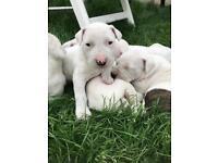 American bulldog puppy blue eyes