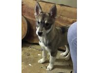 2 Husky Puppies available - £450 each