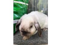 Pedigree Mini Lop Rabbits with Certificates