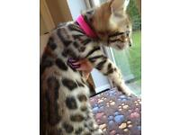 Bengal kittens to reserve
