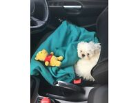 **RARE PURE WHITE SHIH TZU PUPPY FOR SALE!!!**