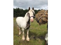 14.1/2 red & white 10 year old cob Gelding
