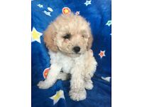 Curly coated f3 cavapoochon Puppies
