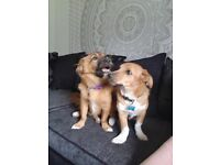 6 month old mixed breed puppies