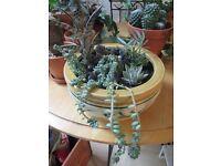SUCCULENT GARDEN IN POT DECORATED WITH LIZARDS ~ PLANTS ~ CACTI ~ CACTUS ~ SUCCULENTS ~ £25