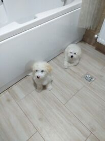 two bichon puppies for sale ..