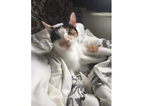2 female cats for sale