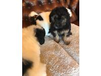 Lhasa cross poodle puppies