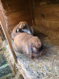 Free lop eared rabbits