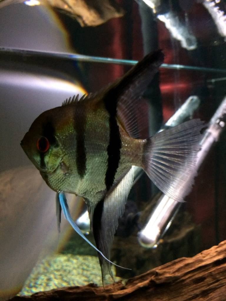 Male Angelfish | Male Angelfish In Perth Perth And Kinross Gumtree