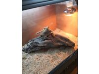 5yr old bearded dragon with viv