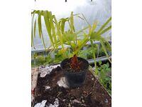 Livistona Nitida palm tree central London