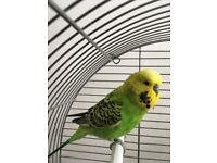 Cute Budgie for Sale
