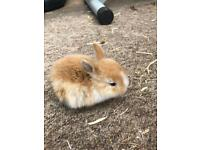 a19899532234 Adorable 2 week old bunnies for sale in 5 6 weeks time