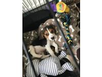 Very handsome 10 week old beagle puppy £500
