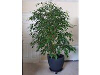 Huge plant Ficus benjamina weeping fig for sale