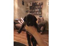 5 Neapolitan Mastiff X Bullmastiff Puppies