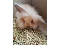 Baby Lionhead Rabbit 9 weeks old