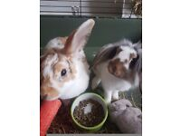 Mum and daughter rabbit with cage and necesseties