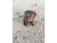 Chocolate Labrador pup kc reg