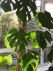 Large Swiss Cheese Plant (7ft) Home/Conservatory/Office vgc.