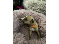 Beautiful Whippet Puppies for Sale