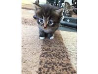 Only 1 long haired tabby kitten left