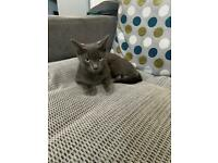 Female Russian Blue