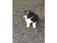 Border collie dog pup for sale. Microchipped and wormed.
