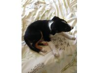 10 weeks old boarder collie for sale male