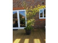 Large Bamboo Plant in Pot - approx 1.5m - £30