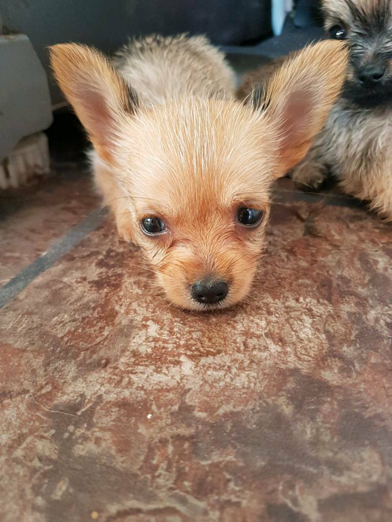 Yorkie Cross Chihuahua Puppies In Woodbridge Suffolk Gumtree