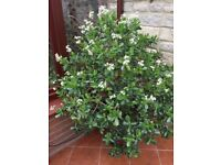 Stunning Large Crassula Ovata (money plant) fragrant flowers every winter from December - April