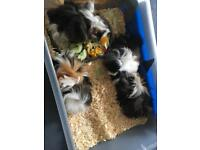 ABYSSINIAN Guinea pigs for sale :-) £30 or £50/pair