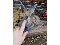 Male rabbit 8 months old with large hutch