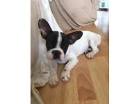 White spotty French Bulldog - 5 months old - Ready now