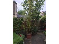 Bamboo Plant for Sale. It's enormous!