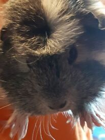 2, 6 month old, female guinea pigs with good size cage, water/feeding bowls