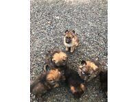 German shepherd pups full breed non reg some pups still available