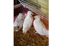 Polish X sultan chicks