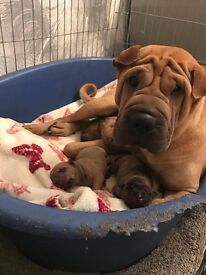 Shar-Pei crossed Staff, GIRL PUP !! will be ready in May £350