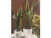 Sansevieria Plant (Mother tongue)
