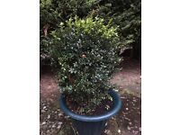 Buxus Plants for sale.