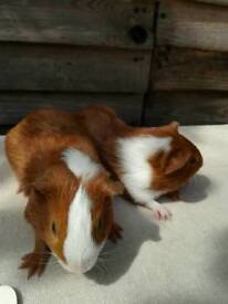 Baby Guinea Pig Boars/Boys