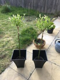 x 1 Salix Garden Tree With Pot