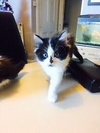 Beautiful Ragdoll Cross kittens.