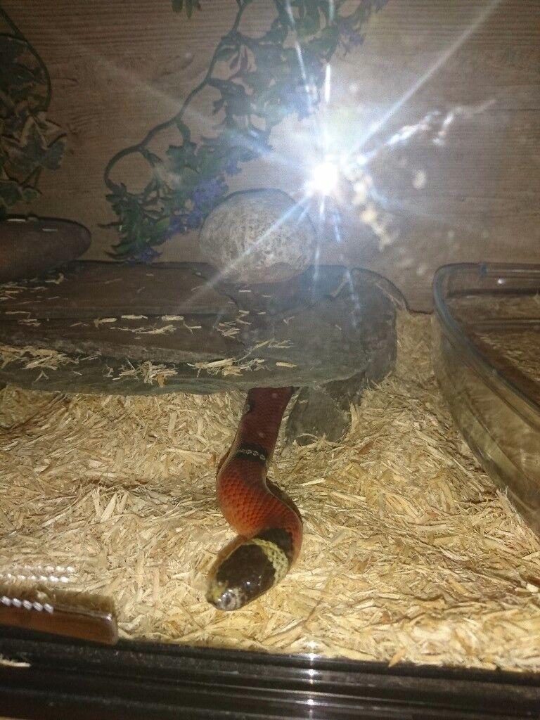Male milk snake (lesser banded)