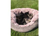 Beautiful Tabby / Black kittens