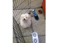 Stunning cross breed Maltese/Bichon Frise 5 month old puppy