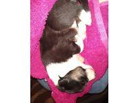 Tri colour border collie girl